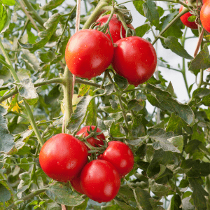 ripe red tomatoes on plant